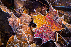 Folhas de bordo frias congeladas do gelo da manhã da geada do outono Foto de Stock