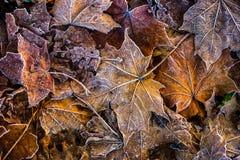 Folhas de bordo frias congeladas do gelo da manhã da geada do outono Fotografia de Stock
