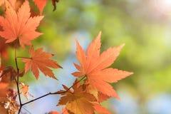 Folhas de bordo, fundos abstratos do outono [foco macio] Imagens de Stock