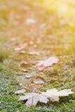 Folhas de bordo geadas na grama Fotos de Stock