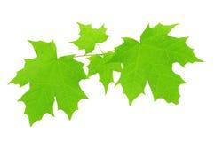 Folhas de bordo isoladas no fundo branco Fotos de Stock