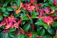 Folhas de bordo japonesas na árvore fotografia de stock