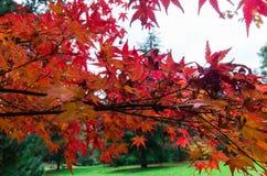 Folhas de bordo japonesas vermelhas nas escalas de Dandenong Foto de Stock Royalty Free
