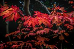 Folhas de bordo japonesas vermelhas vibrantes fotos de stock