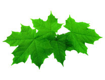 Folhas de bordo luxúrias verdes da mola isoladas no branco Fotografia de Stock Royalty Free