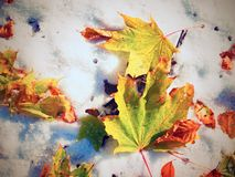 Folhas de bordo na terra gelado no inverno Folhas gelados da queda Imagens de Stock Royalty Free
