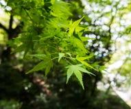 Folhas de bordo nas bordas de um ramo imagens de stock royalty free