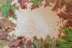 Folhas de bordo no fundo de uma árvore com grânulos vermelhos Foto de Stock