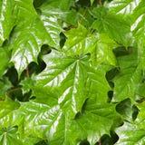 Folhas de bordo no fundo do dia chuvoso natureza, estações Imagens de Stock