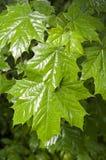 Folhas de bordo no fundo do dia chuvoso natureza, estações Foto de Stock