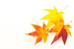 Folhas de bordo no outono Imagens de Stock