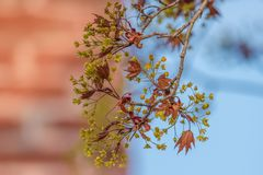 Folhas de bordo novas e flores do açúcar que saem na mola - céu azul e tijolo no fundo foto de stock royalty free