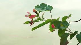 Folhas de bordo que crescem pelo close-up do rio filme