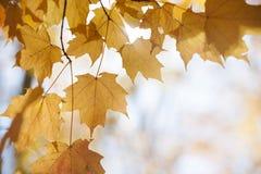 Folhas de bordo retroiluminadas na queda Imagens de Stock Royalty Free