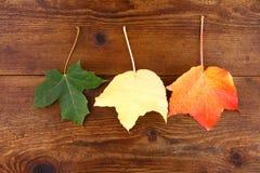 Folhas de bordo verdes, amarelas e vermelhas no fundo de madeira Fotos de Stock