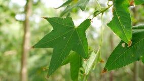 Folhas de bordo verdes em uma floresta Foto de Stock