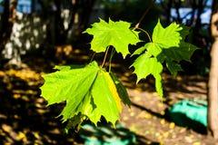 Folhas de bordo verdes no sol fotografia de stock royalty free