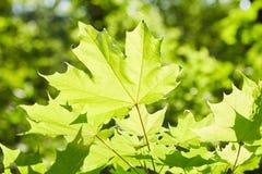 Folhas de bordo verdes nos raios de luz imagem de stock