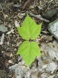 Folhas de bordo verdes novas foto de stock