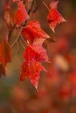 Folhas de bordo vermelhas fotografia de stock