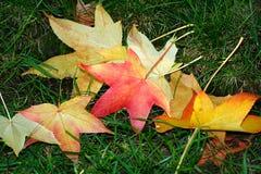 Folhas de bordo vermelhas, alaranjadas e amarelas caídas na grama verde Fotos de Stock