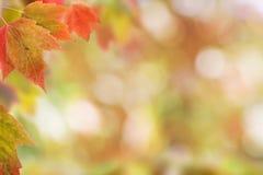 Folhas de bordo vermelhas brilhantes no fundo borrado Foto de Stock Royalty Free