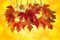 Folhas de bordo vermelhas com fundo alaranjado foto de stock