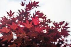 Folhas de bordo vermelhas com fundo borrado do céu azul, foto de stock royalty free