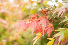 Folhas de bordo vermelhas com fundo do borrão na estação do outono foto de stock