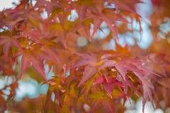 Folhas de bordo vermelhas com fundo do borr?o na esta??o do outono fotografia de stock