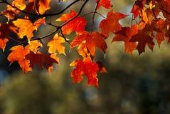 folhas de bordo vermelhas com iluminação lateral completamente no outono imagem de stock