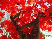Folhas de bordo vermelhas com ramo e o céu azul Foto de Stock Royalty Free