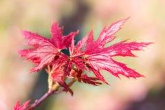 Folhas de bordo vermelhas da mola nova fresca no backgroun colorido do bokeh Fotos de Stock