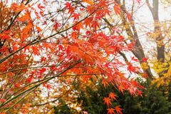 Folhas de bordo vermelhas em uma árvore fotografia de stock royalty free