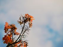 Folhas de bordo vermelhas ensanguentados da queda no fundo iluminado fotografia de stock royalty free