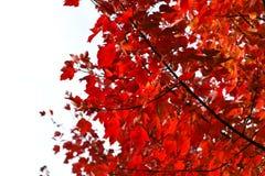 Folhas de bordo vermelhas na queda Fotos de Stock