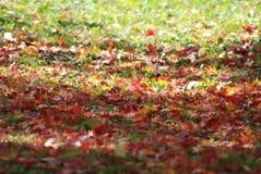 Folhas de bordo vermelhas na terra da grama Imagens de Stock