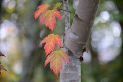 Folhas de bordo vermelhas que giram na queda Foto de Stock