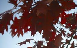 Folhas de bordo vermelho do outono contra o céu azul imagem de stock