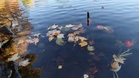 Folhas de bordo vibrantes douradas coloridas do outono do outono que flutuam na água em Massachusetts, Nova Inglaterra foto de stock
