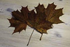 Folhas de bordos Imagem de Stock