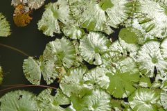 Folhas de brilho dos lótus Fotografia de Stock