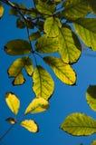 Folhas de brilho no luminoso Foto de Stock Royalty Free