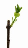 Folhas de brotamento do Lilac acima perto Foto de Stock Royalty Free