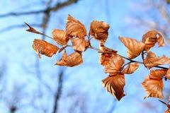Folhas de Brown Imagem de Stock