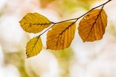 Folhas de Brown Autum da faia Imagem de Stock Royalty Free