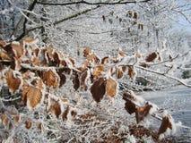 Folhas de Brown geadas no gelo Fotografia de Stock