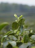 Folhas de chá Fotos de Stock Royalty Free