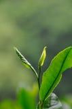 Folhas de chá Foto de Stock Royalty Free
