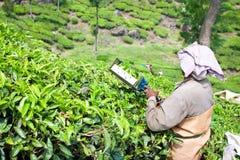 Folhas de chá da colheita da mulher em uma plantação de chá Fotografia de Stock Royalty Free